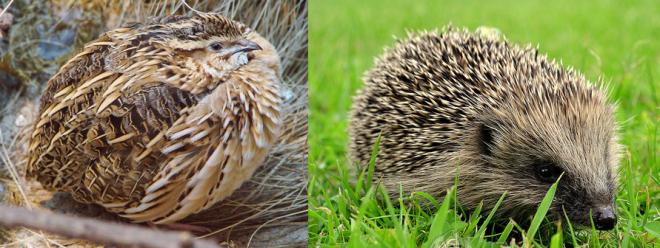 quail hedgehog
