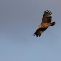 Rare satellite-tagged eagle appears in Malta