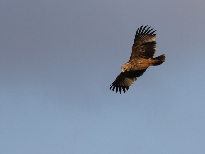 The Eastern Imperial Eagle specimen spotted in Malta. Photo taken by Stephen Cilia